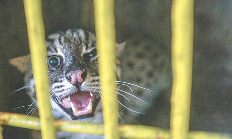 A fishing cat seized from a circus in Mowach Goth. — Fahim Siddiqi/White Star