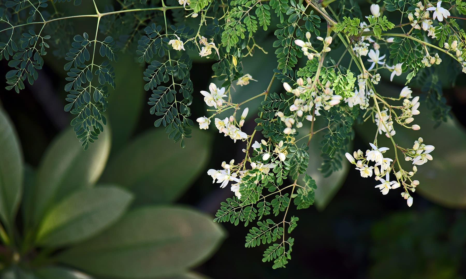 سوہانجنا خوش قسمتی سے ہمارا مقامی درخت ہے