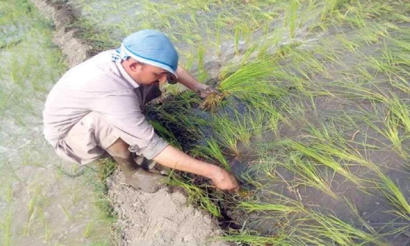 A farmer plants saplings in Jinjiret village of Drosh, Chitral. — Dawn