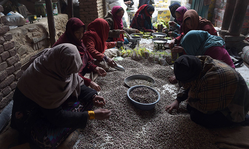 In this photograph taken on December 31, 2014, Afghan women labourers prepare pistachio seeds at a local dried fruit factory in Kabul. — AFP/File
