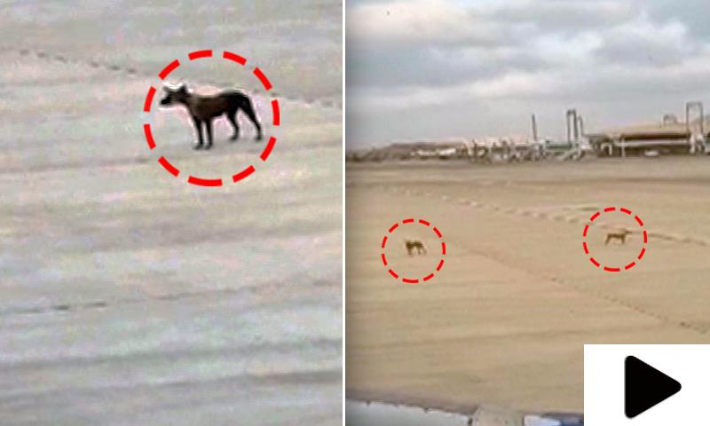 جناح انٹرنیشنل ایئرپورٹ کے رن وے پر آوارہ کتوں کی انٹری