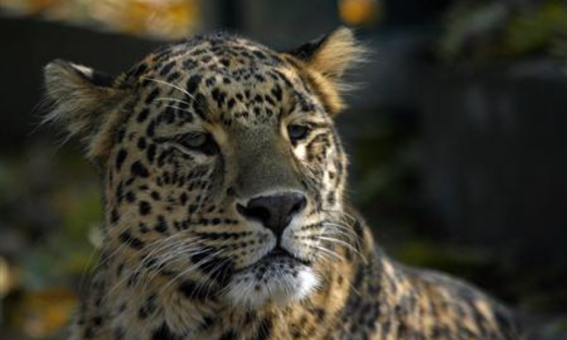 The Margalla Hills National Park had now become a permanent new habitat of the wild cats that previously would move to the park area and roam around its lower reaches during winter, the PM's aide said. — Reuters/File