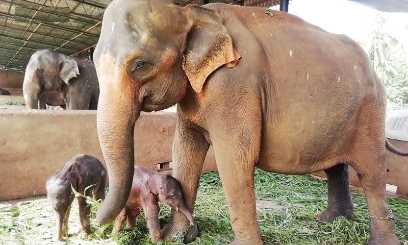25 سالہ ہتھنی کے ہاں پیدا ہونے والے بچوں کا والد 17 سالہ ہاتھی ہے، حکام—فوٹو: اے ایف پی