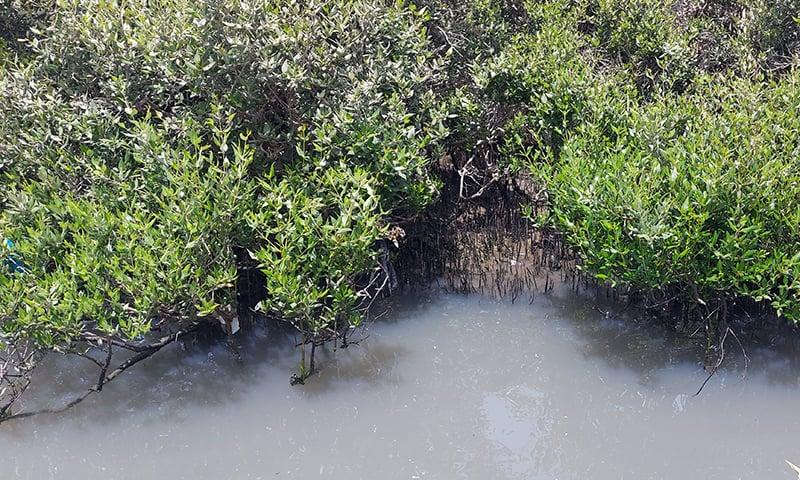 کراچی کی ساحلی پٹی پر موجود تمر کے جنگلات