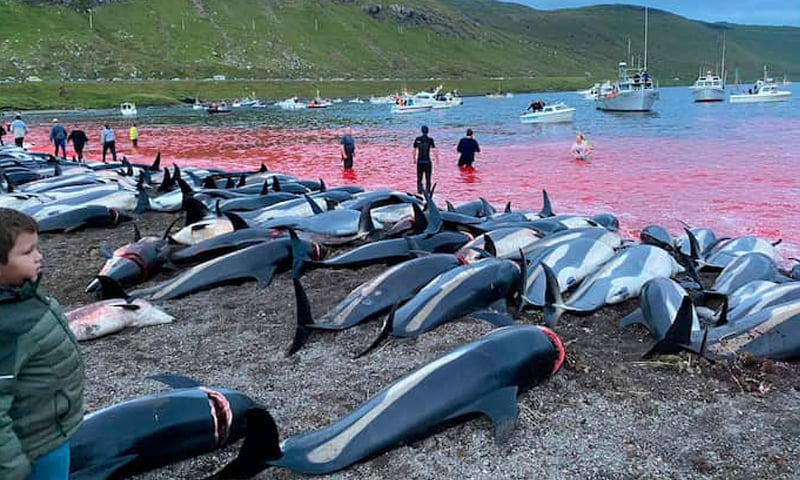 Water near a beach on Eysturoy, part of the Faroe Islands, is stained with blood after a dolphin hunt there on September 12. — AP