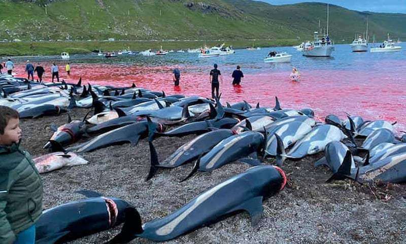 Water near a beach on Eysturoy, part of the Faroe Islands, is stained with blood after a dolphin hunt there on September 12. — AP/File