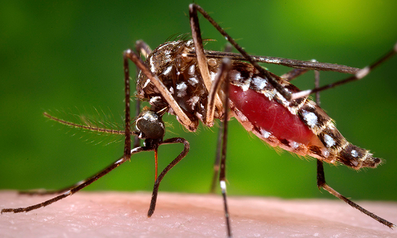 This file photo shows a dengue mosquito. — Reuters/File