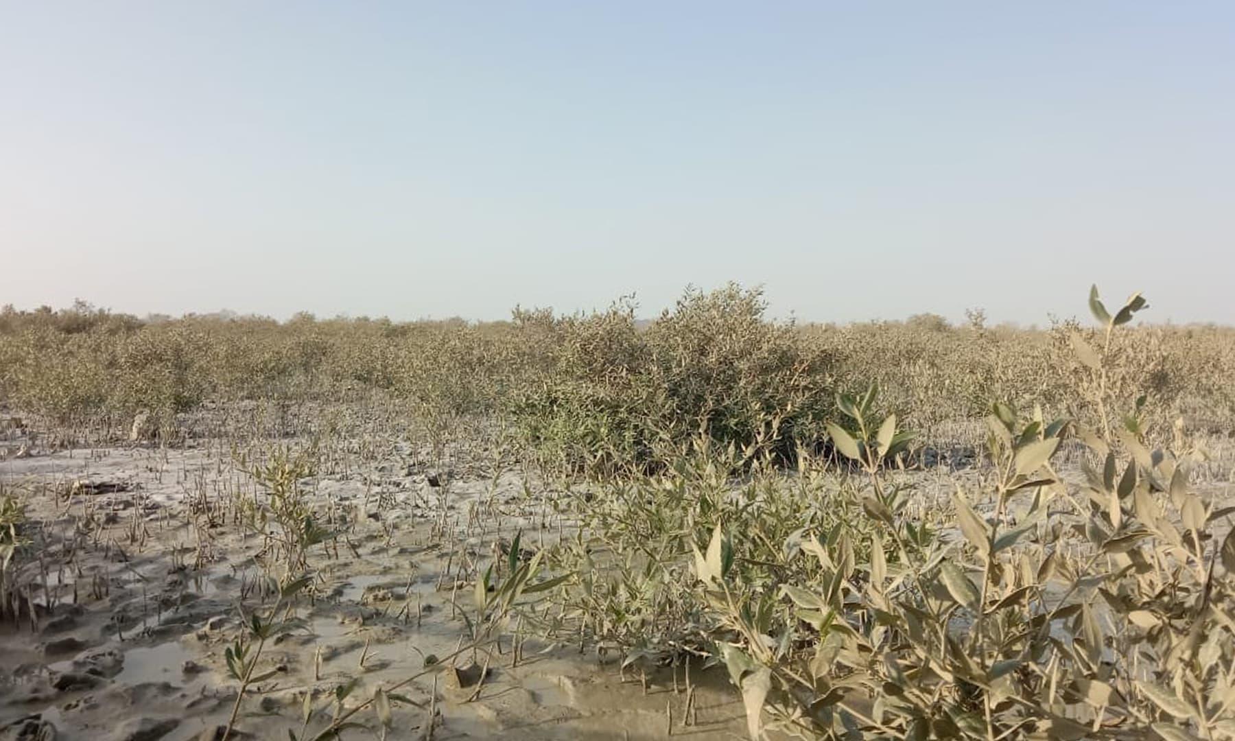 تمر کے جنگلات ان علاقوں میں پائے جاتے ہیں جہاں بارشوں یا دریا کا میٹھا پانی سمندر کے نمکین پانی سے ملتا ہے