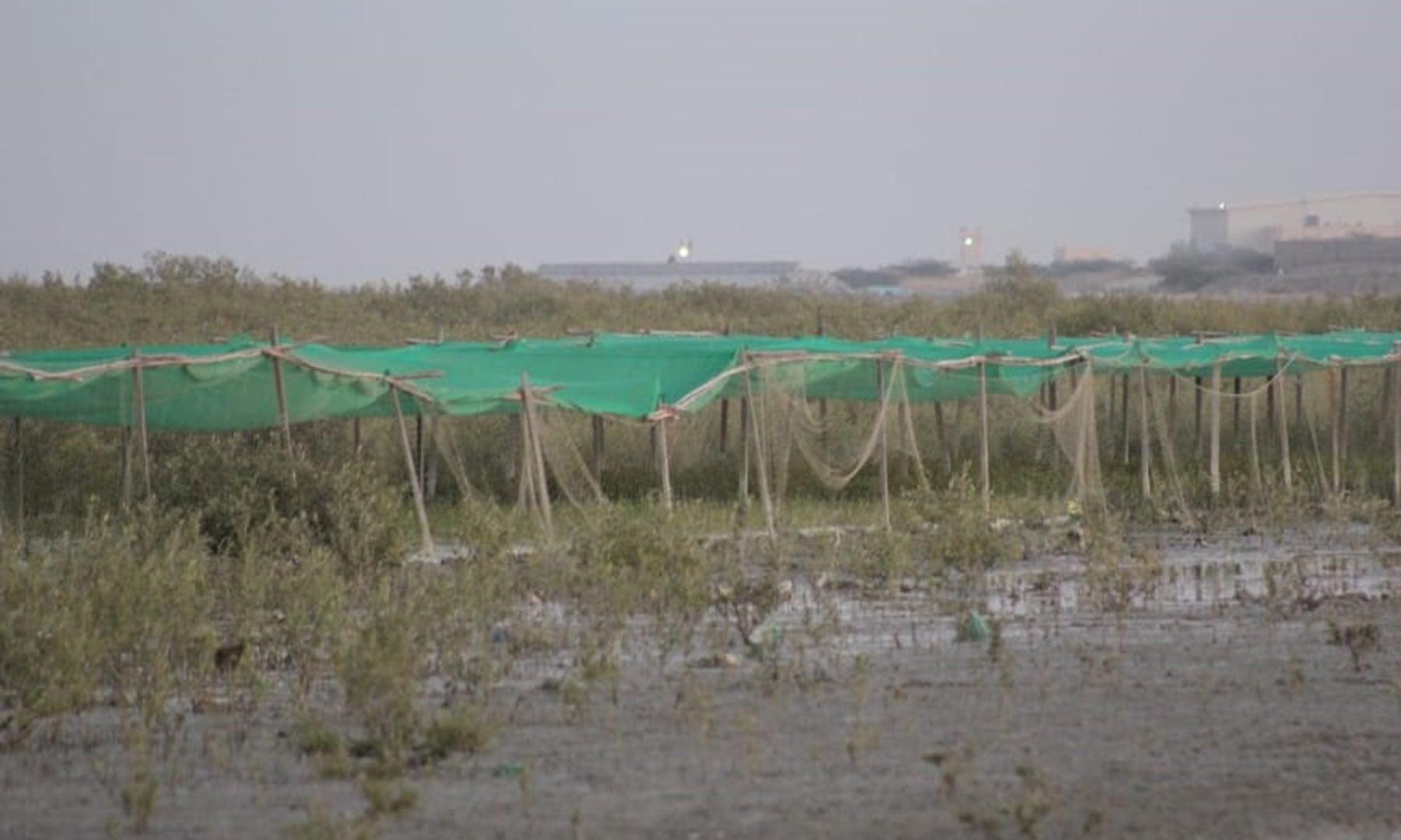 بلوچستان کے ساحلی علاقوں میانی ہور میں 3431.36، کلمت ہور 194ہیکٹر اور گوادر میں 433 ہیکٹر رقبے پر تمر کے جنگلات موجود ہیں