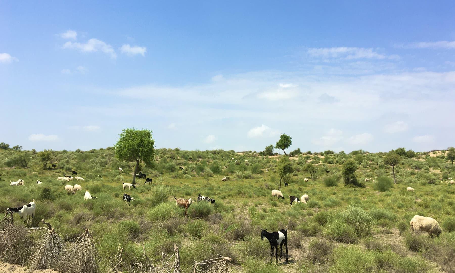 تھر میں بارش میں تاخیر کے باعث مویشیوں کے لیے چارہ بھی ایک مشکل بن گئی تھی---فوٹو:امتیاز دھارانی