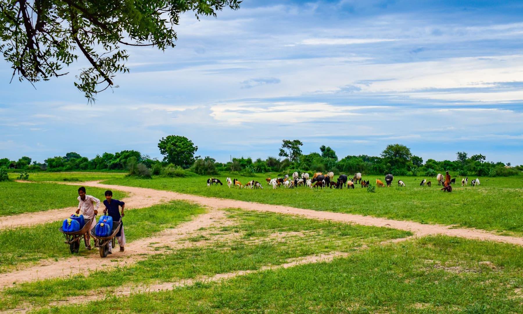 مویشیوں کے لیے جہاں شہری پریشان تھے اب چارے کی پریشان ختم ہوگئی ہے---فوٹو:امتیاز دھارانی