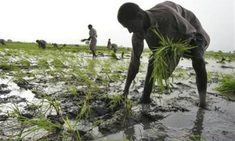 A Pakistani farmer sows rice at a field in Larkana. — Reuters/File