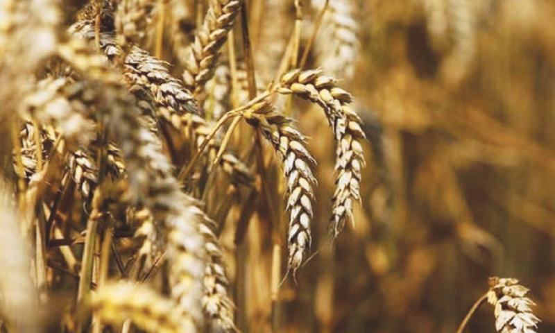 Minister for National Food Security and Research Syed Fakhar Imam tells the National Assembly Standing Committee on National Food Security and Research that a bumper wheat crop was recorded this year. — Reuters/File