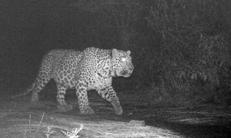 File photo of Shezadi, the leopard, that inhabits area between trails 4 and 6 inside Margalla Hills National Park.