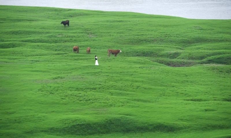 A visitor and cattle are seen on the grass-covered riverbed of the Fuling section of Yangtze river which has been affected by drought, in Chongqing, China, June 4, 2020. — Reuters/File