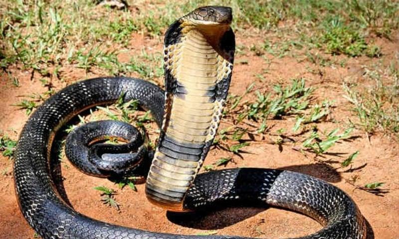A file photo of a King Cobra. — AFP/File