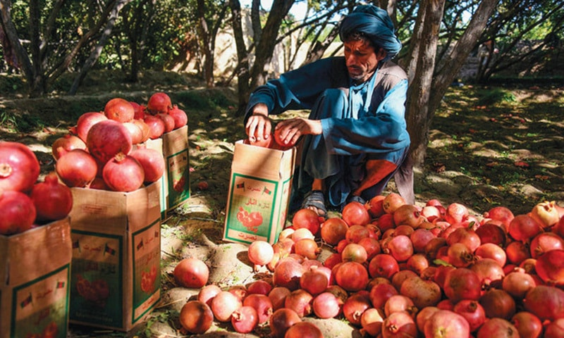 In this file photo, a farmer sorts and packs pomegranates at a garden in Kandahar. — AFP