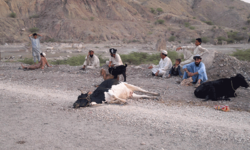 Waziristan IDPs finding it hard to feed their cattle
