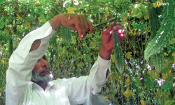 Vertical farming getting popular in Swat