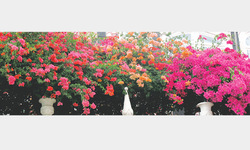 Blooming bougainvillea