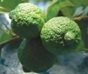Sick  citrus