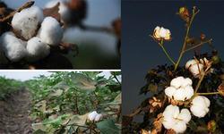 Firmer trend on cotton market