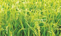 Declining exports of basmati rice