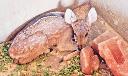 Hog deer, black buck births at zoo
