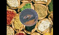 'Pulses drills' for Punjab growers