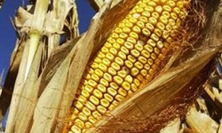 First hybrid maize seed launched