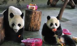 Panda population up nearly 17pc