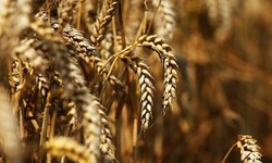 Four new wheat varieties introduced
