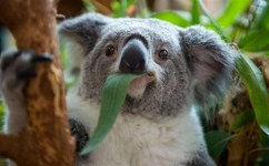 Nearly 700 starving koalas killed in Australia
