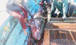 Rare whale caught off Karachi coast dies