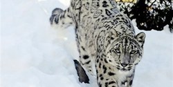Pakistan to lead global initiative to save snow leopard