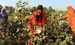 India's cotton exports may fall 41pc