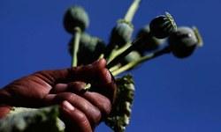 Tribesmen help admin destroy poppy in Bajaur
