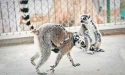Lemur twins born at Karachi zoo