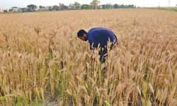Wheat yield may drop in Lahore, Gujranwala divisions