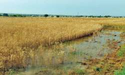 Untimely wet spell set to damage wheat crop