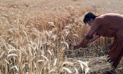 Need for a wheat policy