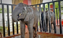 Large enclosure at Safari brings happiness to Malika and Sonu
