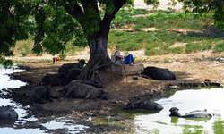 ہندوستان: شدید گرمی، پانچ ہفتوں میں 230 اموات