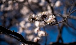 For the love of Hunza's cherry blossoms