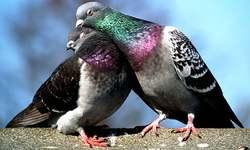 Pakistani spy pigeon: The proof