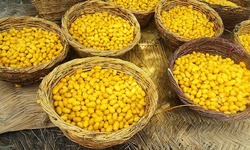 خیرپور کی سنہری فصل میں خواتین کا کردار