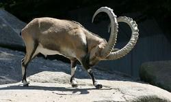 Stuffed markhor, ibex seized in Naran