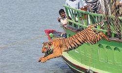 Number of Bangladesh tigers in steep decline