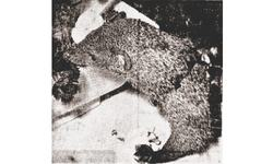 This week 50 years ago: Mongoose that lives off choice carnations