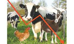 Punjab's count shows falling livestock population